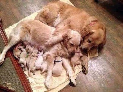 Google+ | Товары для животных, Новорожденные щенки ...  Новорожденные Щенки Таксы