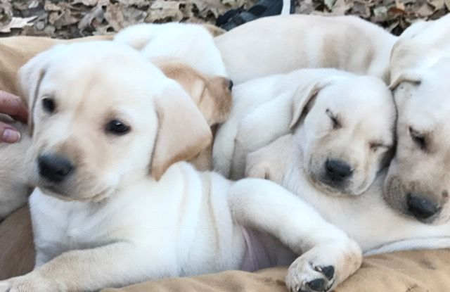 Litter Of 9 Labrador Retriever Puppies For Sale In Bells Tx Adn 21122 On Puppyfinder Com Gende Labrador Retriever Labrador Retriever Puppies Puppies For Sale