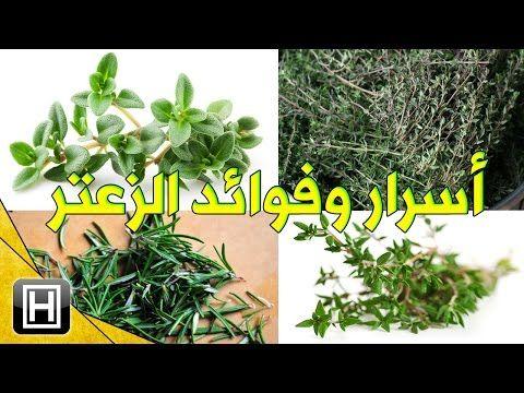 أسرار عشبة الزعتر البري وفوائدها المدهشة للبشرة والجسم مع طرق إستعمالها الصحيحة Youtube Herbs Plants
