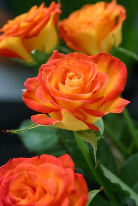 Meaning Of Roses Colors: Yellow Rose With Orange Tips. Fun, Playful, And Energized