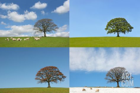 Four Seasons of the Oak Tree Premium Poster