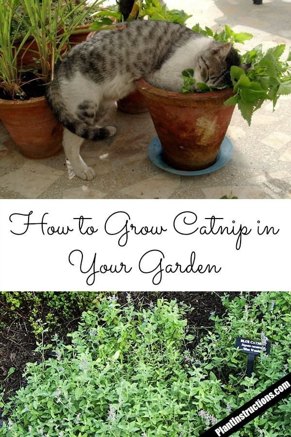 How to Grow Catnip in Your Garden Growing catnip, Catnip