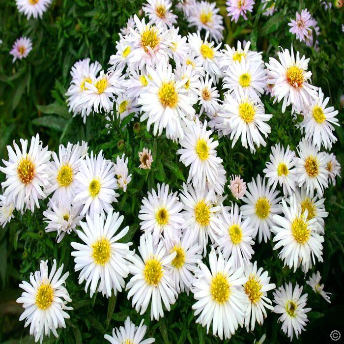 Aster Dumosus Apollo 3 Plants Buy Online Order Now Plants Plant Sale Easy Plants To Grow