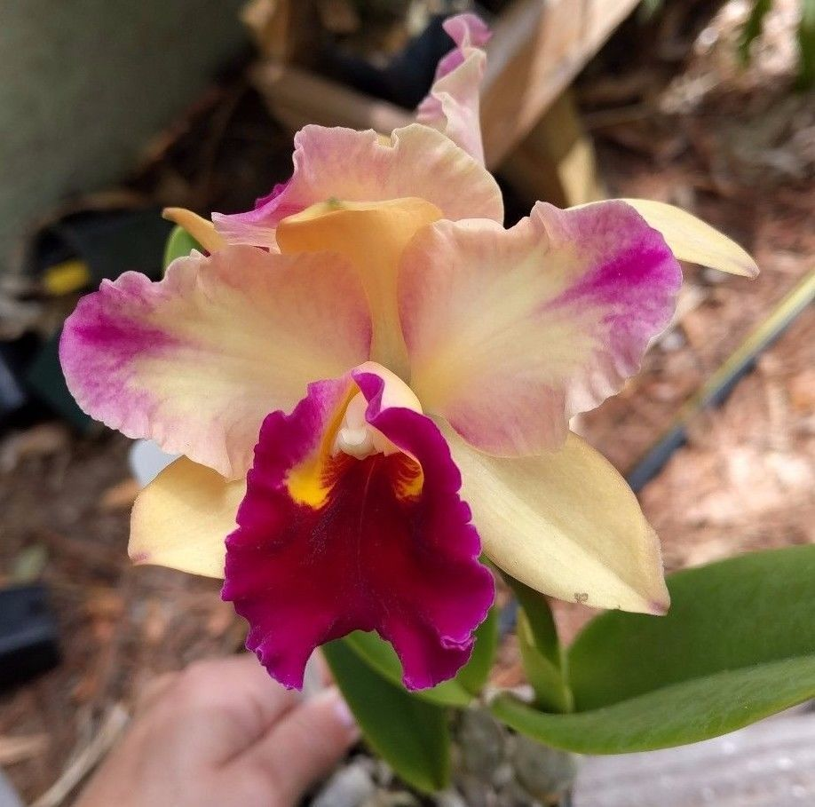 Cattleya Blc Toshie S Magic Doris 457 1 Spike Fragrant Cattleya Flowers Magic S