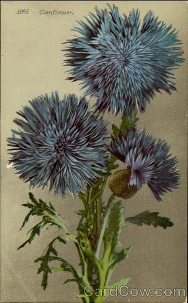 Cornflower Flowers / B.