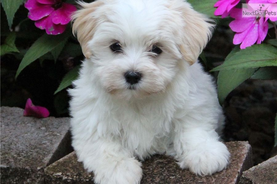 Havanese Puppy For Sale Near Indianapolis Indiana 58f38d42 Af71