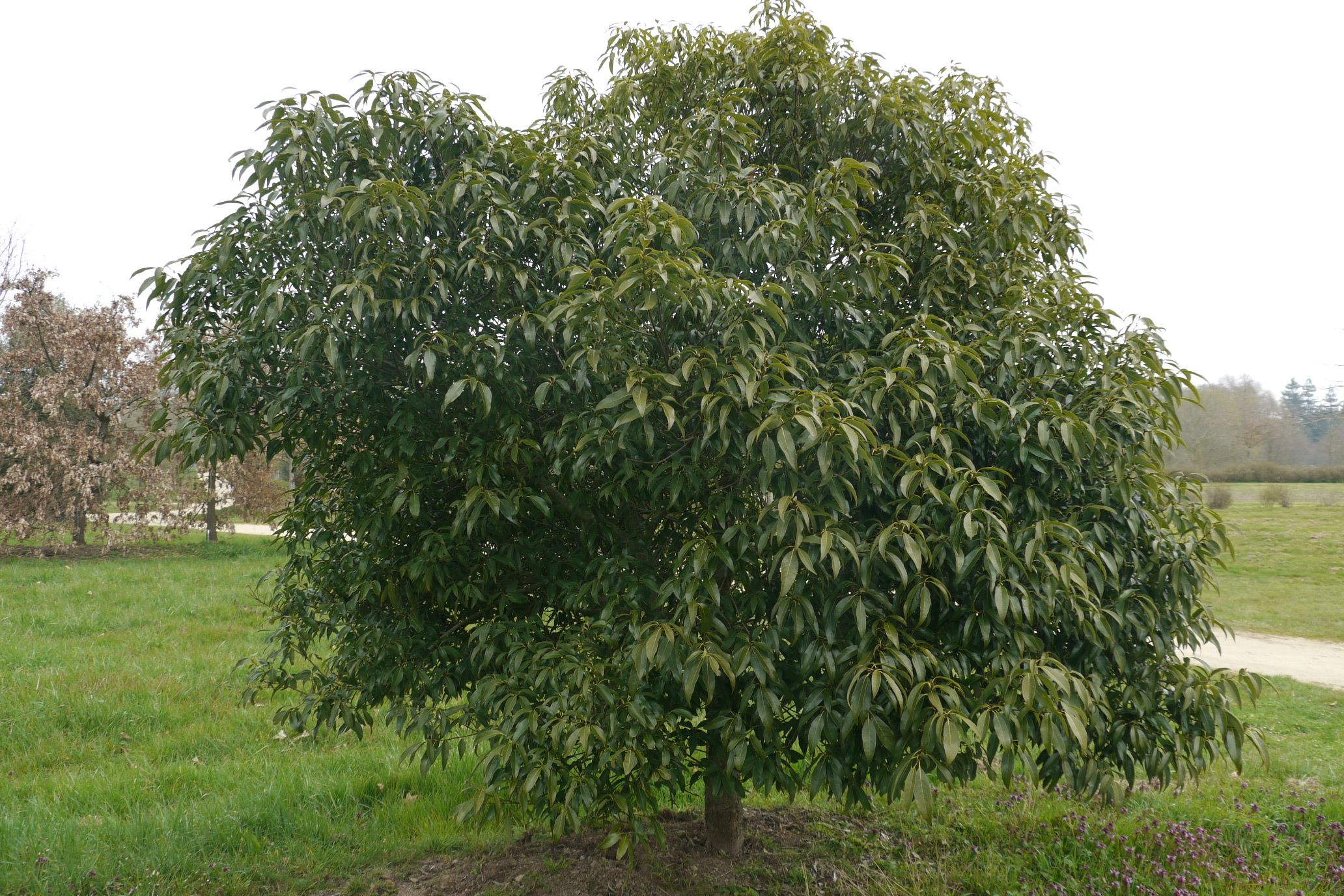 quercus myrsinaefolia sg1la 10m 10m arbre persistant port arrondi de croissance lente. Black Bedroom Furniture Sets. Home Design Ideas