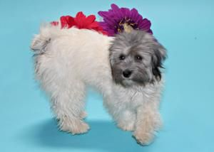 Adopt Savannah On I Would Love A Furrever Home Havanese Dogs