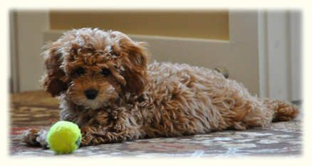 Timshell Farm Puppies Here Now Reserve Yours Cavapoochon Poochon Dog Puppies