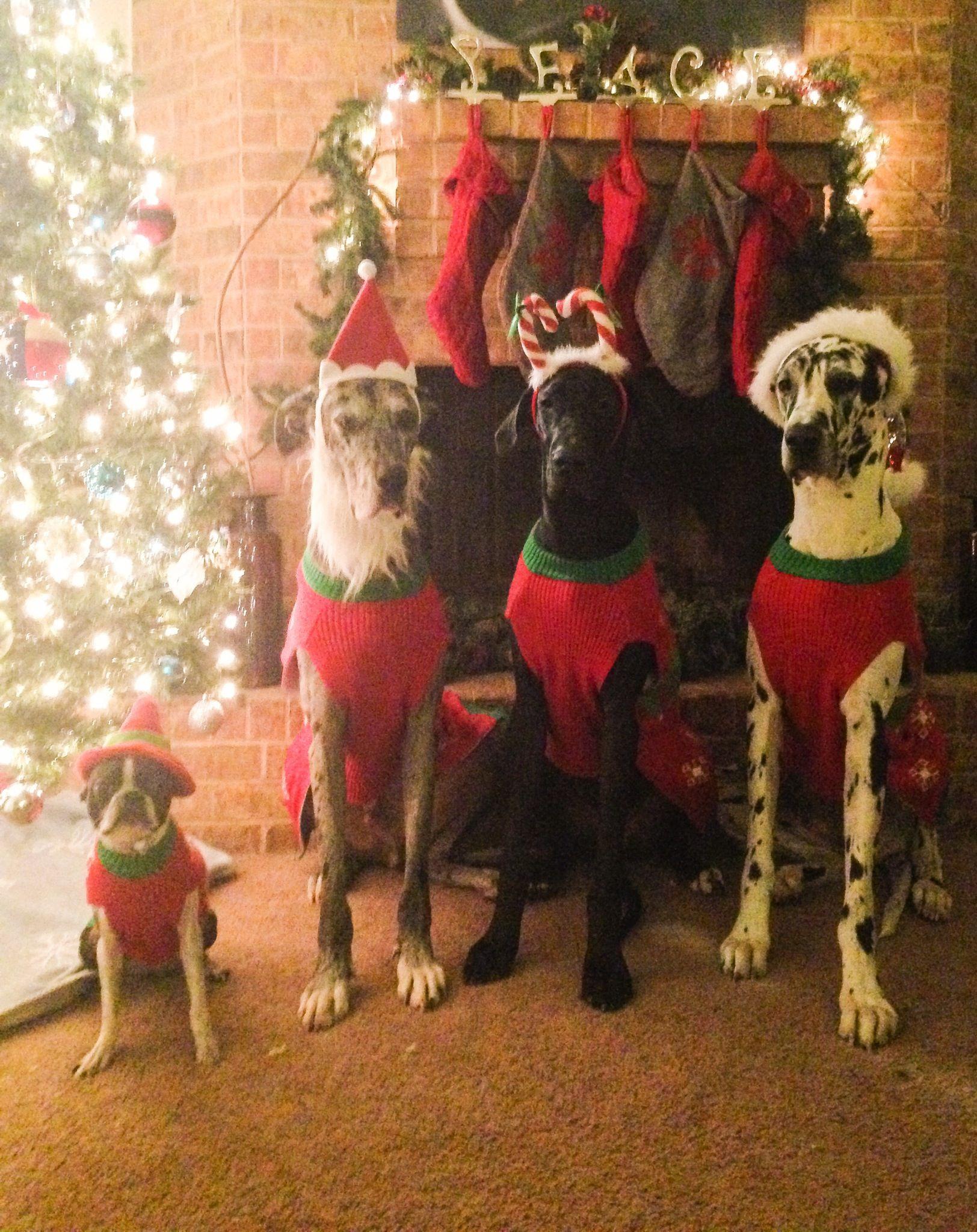 Christmas Great Danes Pets Christmas Pinterest Dog