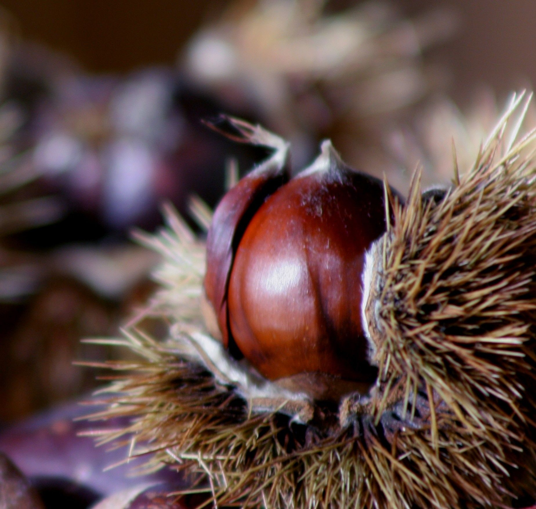 ... finding chestnuts on the ground