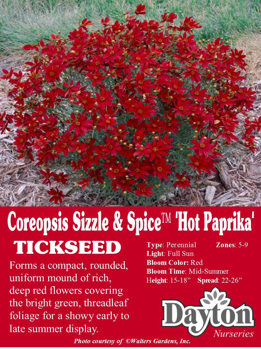 Coreopsis Sizzle Spice Hot Paprkia Tickseed Forms A Compact