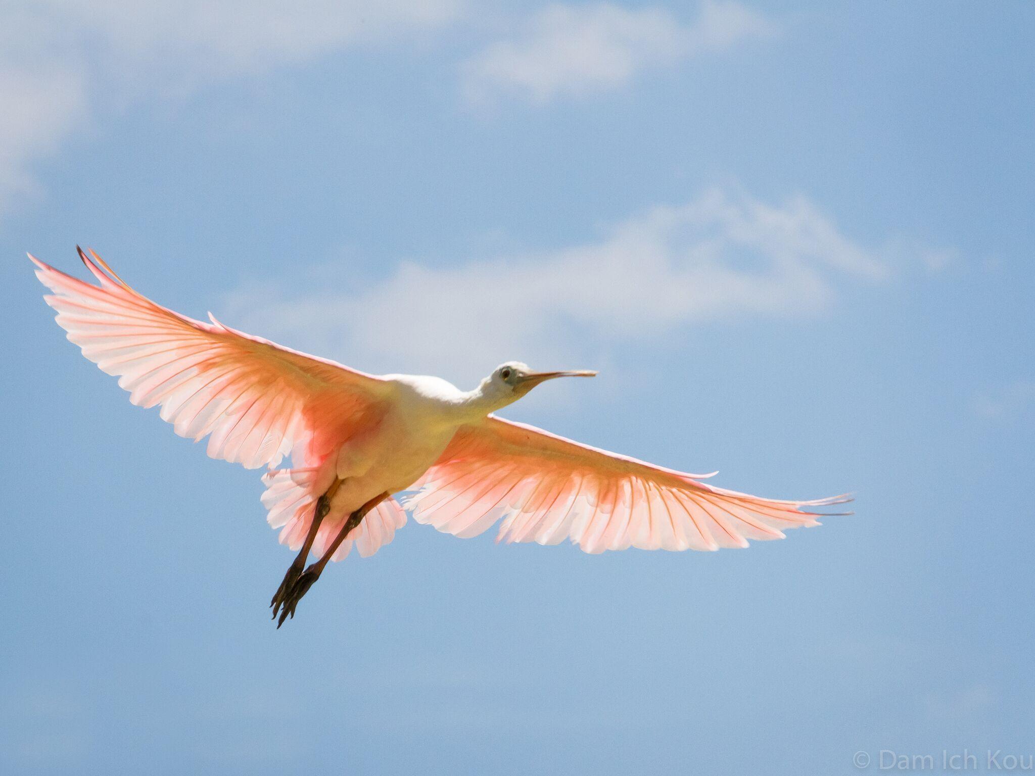 Oiseau en plein vol on participe les animaux l - Dessin oiseau en vol ...