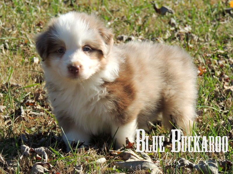 red merle mini australian shepherd past puppy at www