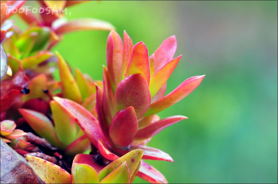 Crassula americana cv flame with images succulents