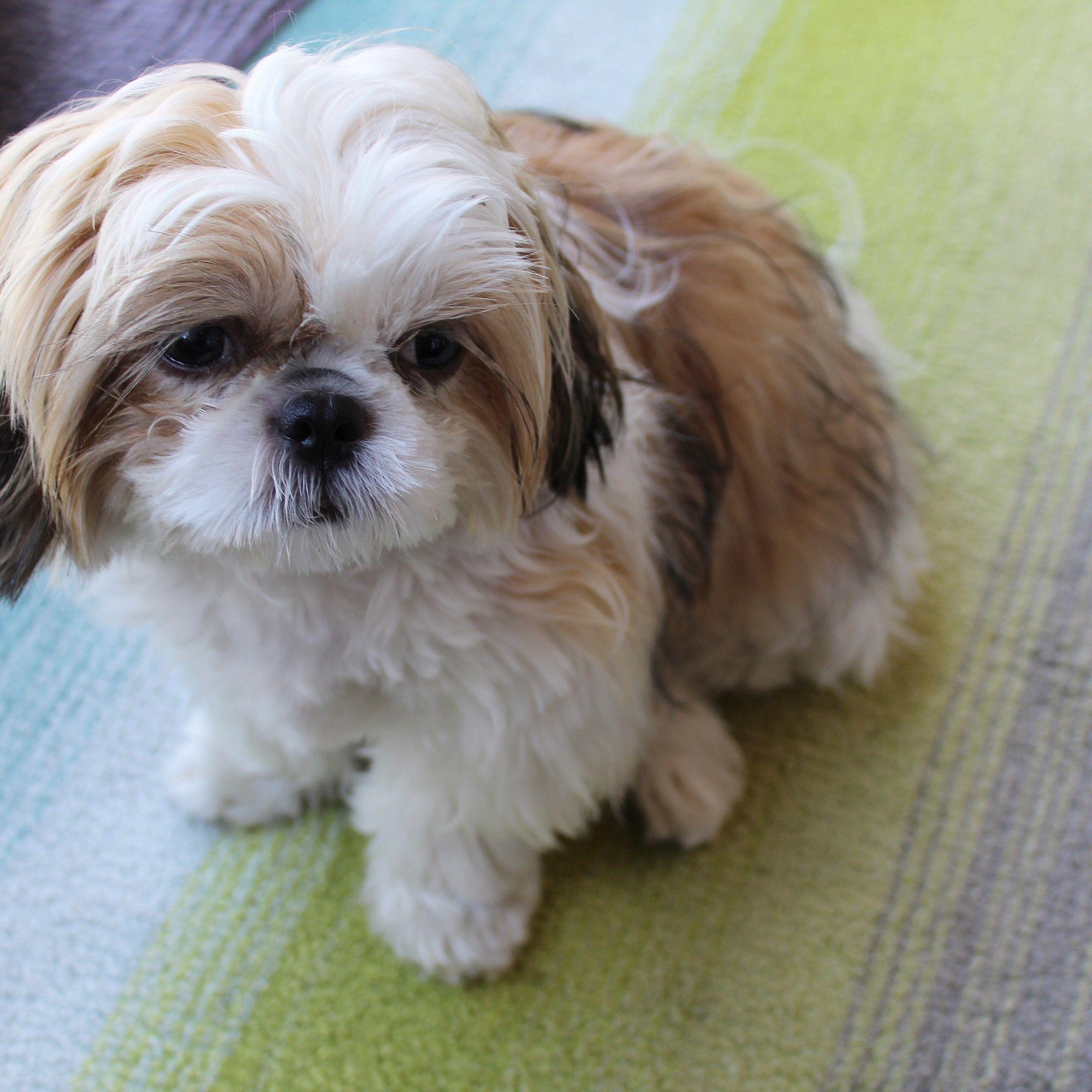 My Cutest Little Girl Foxiepup Shih Tzu Puppy Shih Tzu Puppies