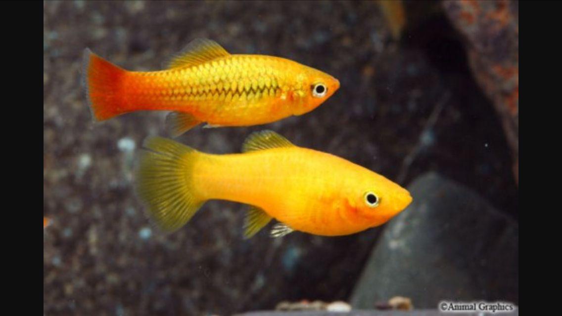 Xiphophorus Variatus Tropical Fish Freshwater Aquarium Fish Tank
