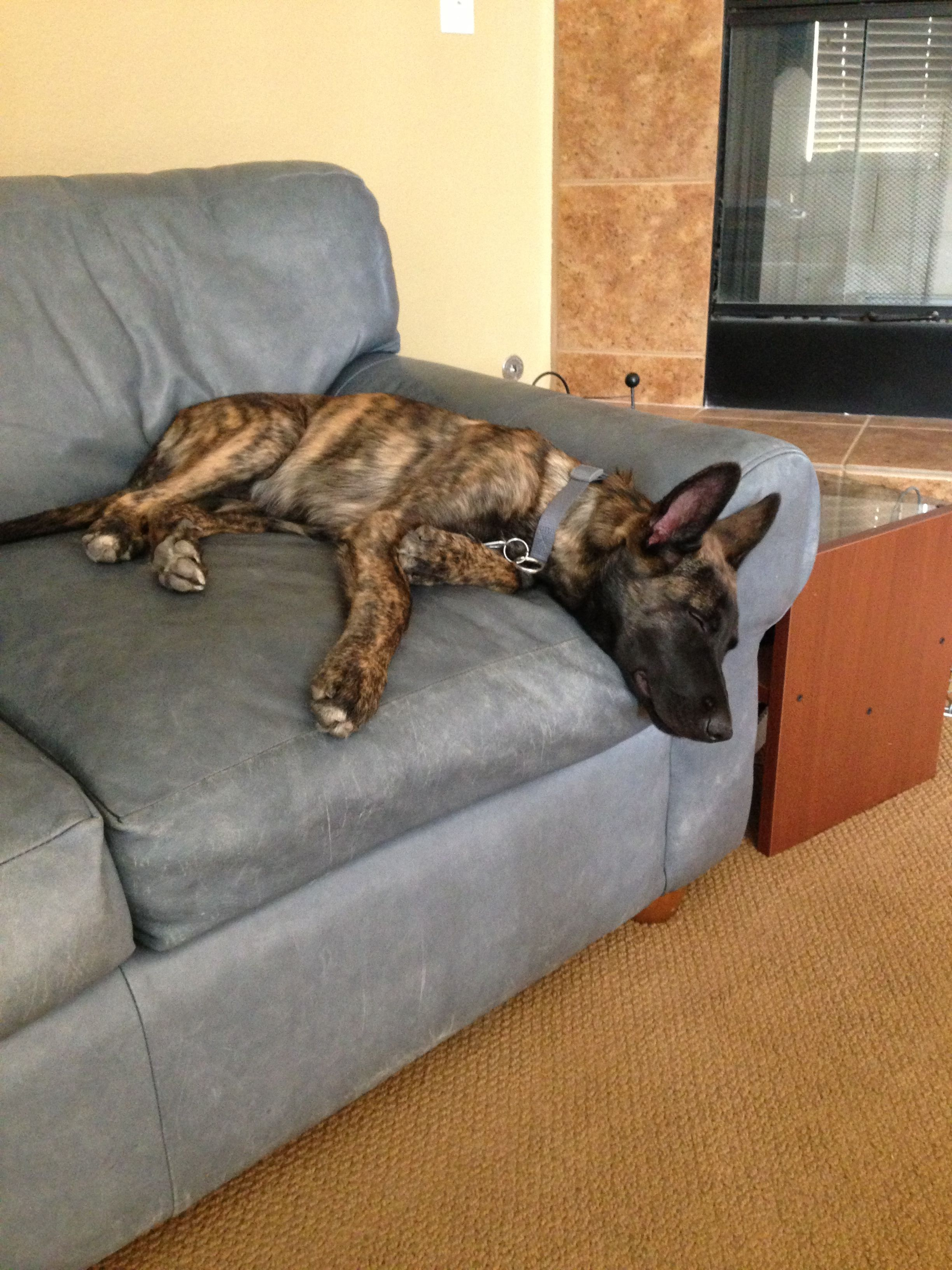 My 5 Month Old Dutch Shepherd Napping Beautiful Dogs Dogs Working Dogs