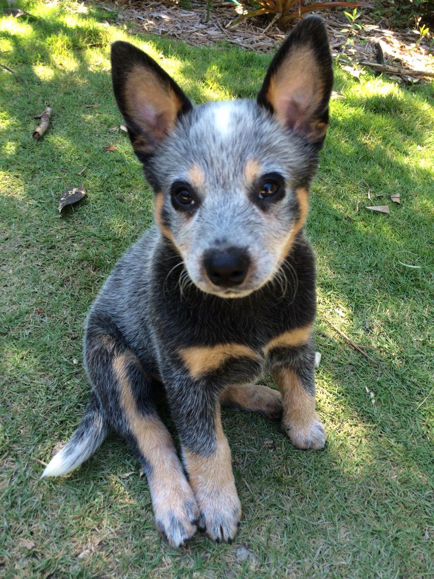 Pin By My Info On Pets Austrailian Cattle Dog Australian Dog