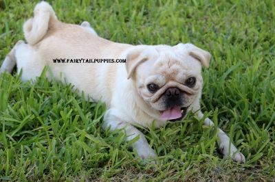 """Fairytailpuppies """"where pets are family too - OLAF THE WHITE PUG"""