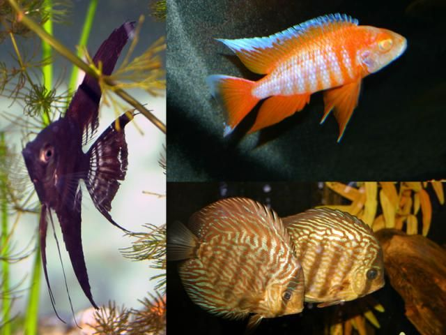 Most Cichlids Are Suited For The Home Aquarium But Not With All Fish Cichlids Betta Fish Types All Fish