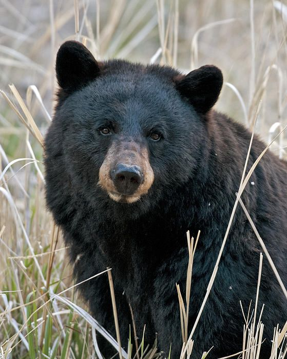 Nothing Like A Close Bear Encounter To Make You Rethink What You Re Packing And How Your Camp Is Set Up And How Black Bear Bear Paintings American Black Bear