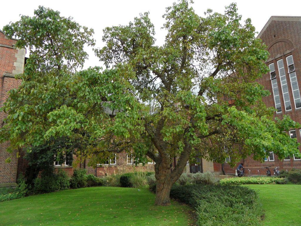 Luxury Mulberry Tree