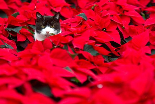 Best Florists In Sacramento To Get A Holiday Poinsettia Christmas Cats Toxic Plants For Cats Cats