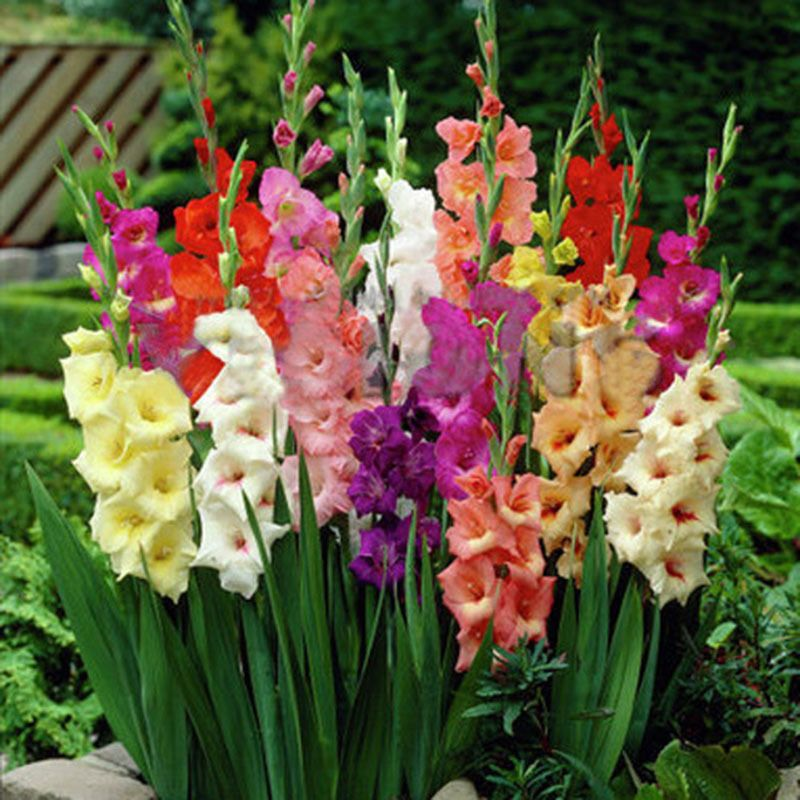 2pcs Mixed Colors Gladiolus Jumbo Flower Bulbs Perennials Summer Plant Seeds Ebay Gladiolus Flower Flower Seeds Lily Seeds