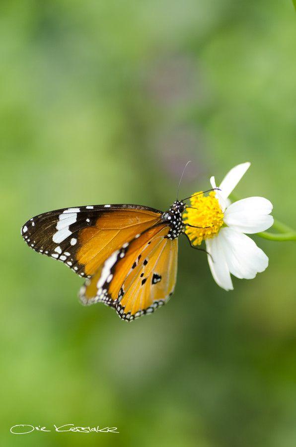 Butterfly- Danaus Genutia......... by Ollie Kerslake on 500px
