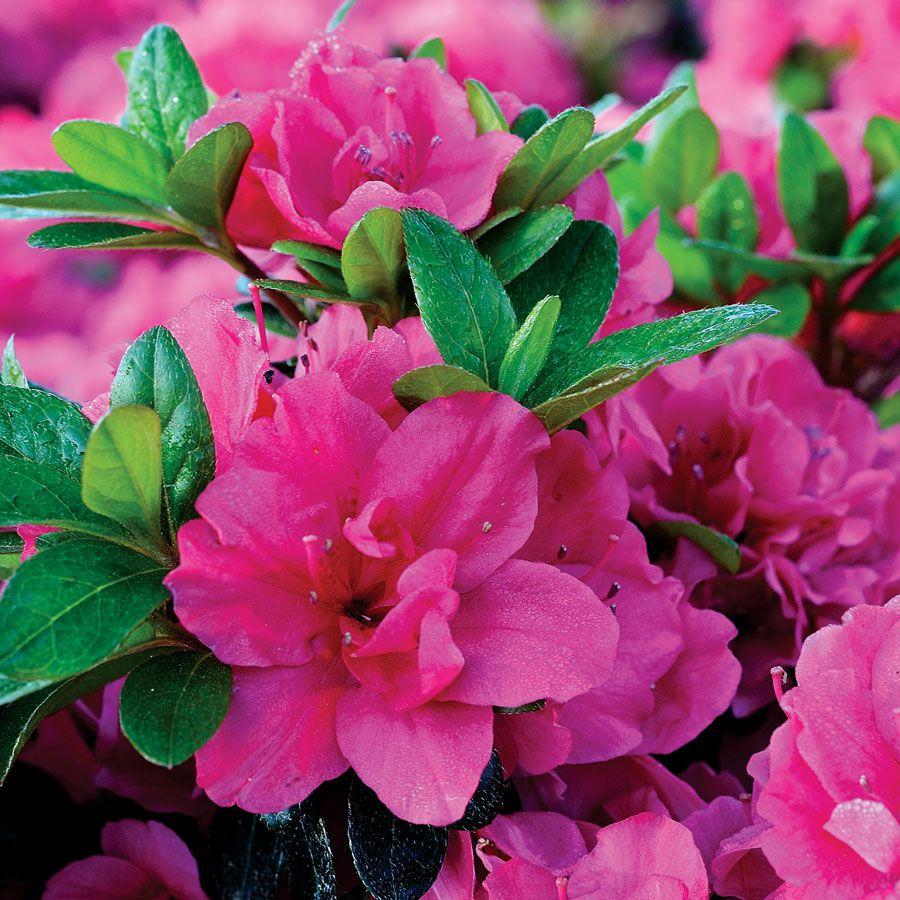 Evergreen Canzonetta Azalea Azaleas Evergreen Flowers