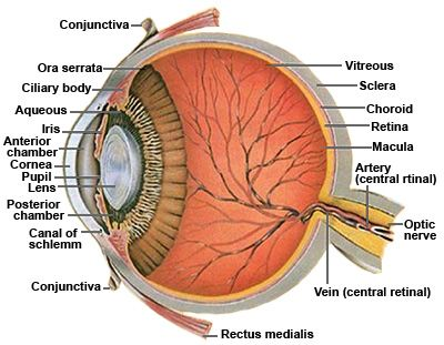 Anatomy of the human eye cross sectional viewg 400311 pixels eye diagram and functions eye diagram and functions ccuart Gallery