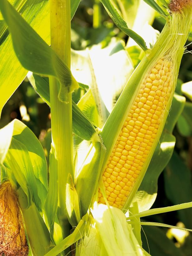 When Is The Best Time To Harvest Corn Sweet Corn Shows These 3 Specific Signs That It Is Ready To Harvest But You Have Corn Harvest Corn Growing Sweet Corn