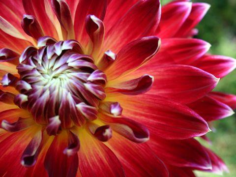dahlia : fleur, plantation, culture et entretien