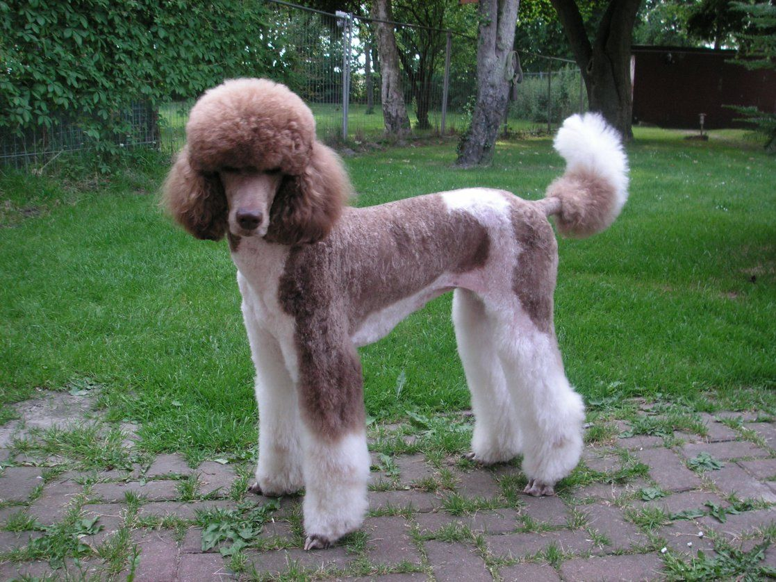 Standard Poodle Height Predictor Google Search Standard Poodle