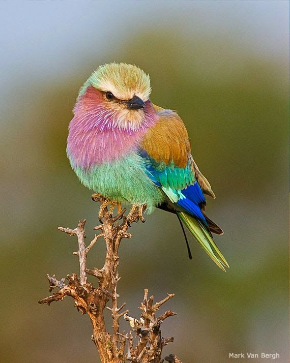 Big breasted birds