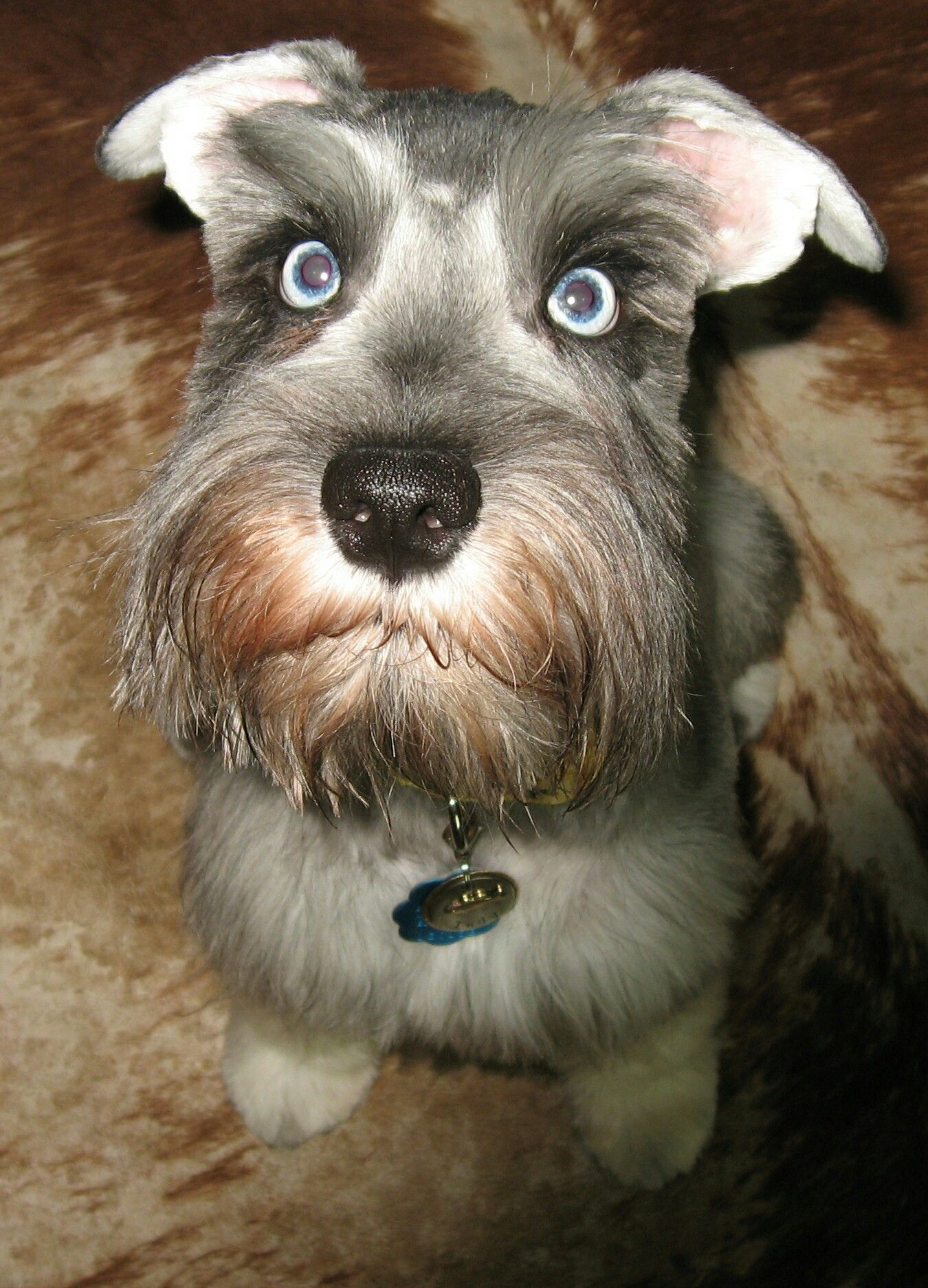 Indy the schnauzer with images cute puppies schnauzer