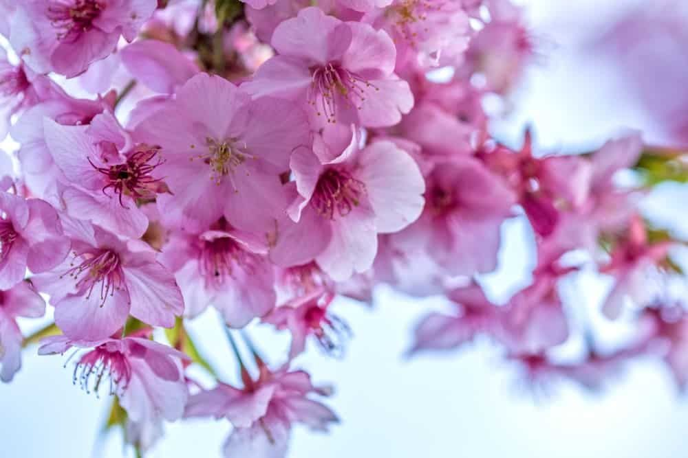 22 Different Types Of Cherry Blossoms And Interesting Facts In 2021 Types Of Cherries Cherry Blossom Tree Cherry Blossom