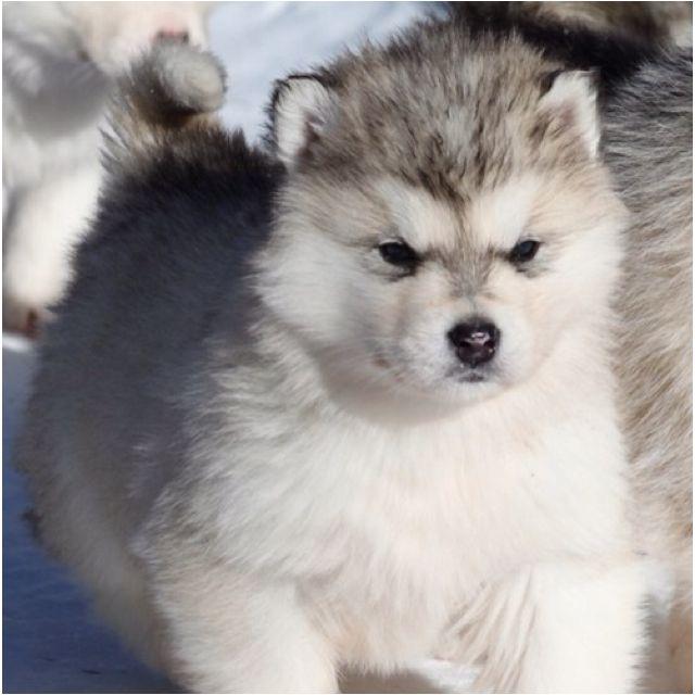 I M A Baby Raccoon Puppy Malamute Puppies Cute Animals Alaskan Malamute Puppies