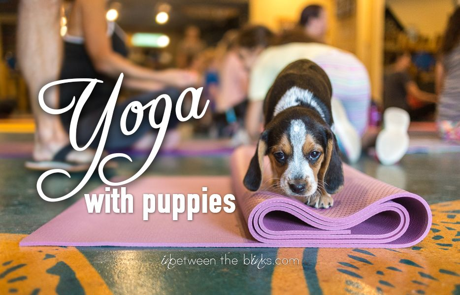 Yoga With Puppies Fundraiser For Triangle Beagle Rescue Beagle