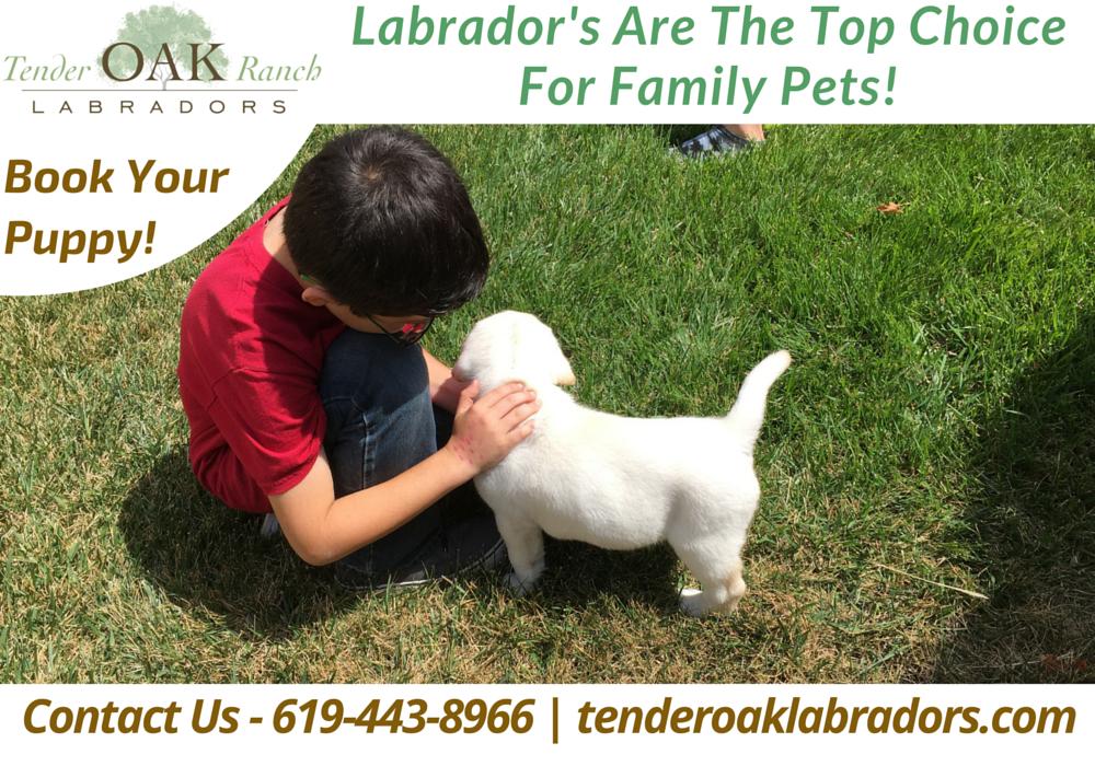 Yellow Lab Puppies In San Diego Puppies Retriever Puppy Labrador Puppies For Sale