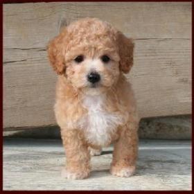 Poochon Puppy Poodle Puppies For Sale Poochon Dog Poodle Puppy