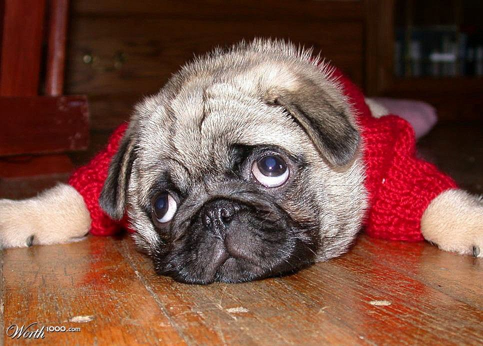 Pug Can T I Go On The Couch Precious Pups Pugs Puppies