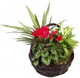 Cesta de #Plantas Chocolate en tono oscuro y combinación de plantas y flores. #Enviarflores, #floresadomicilio.