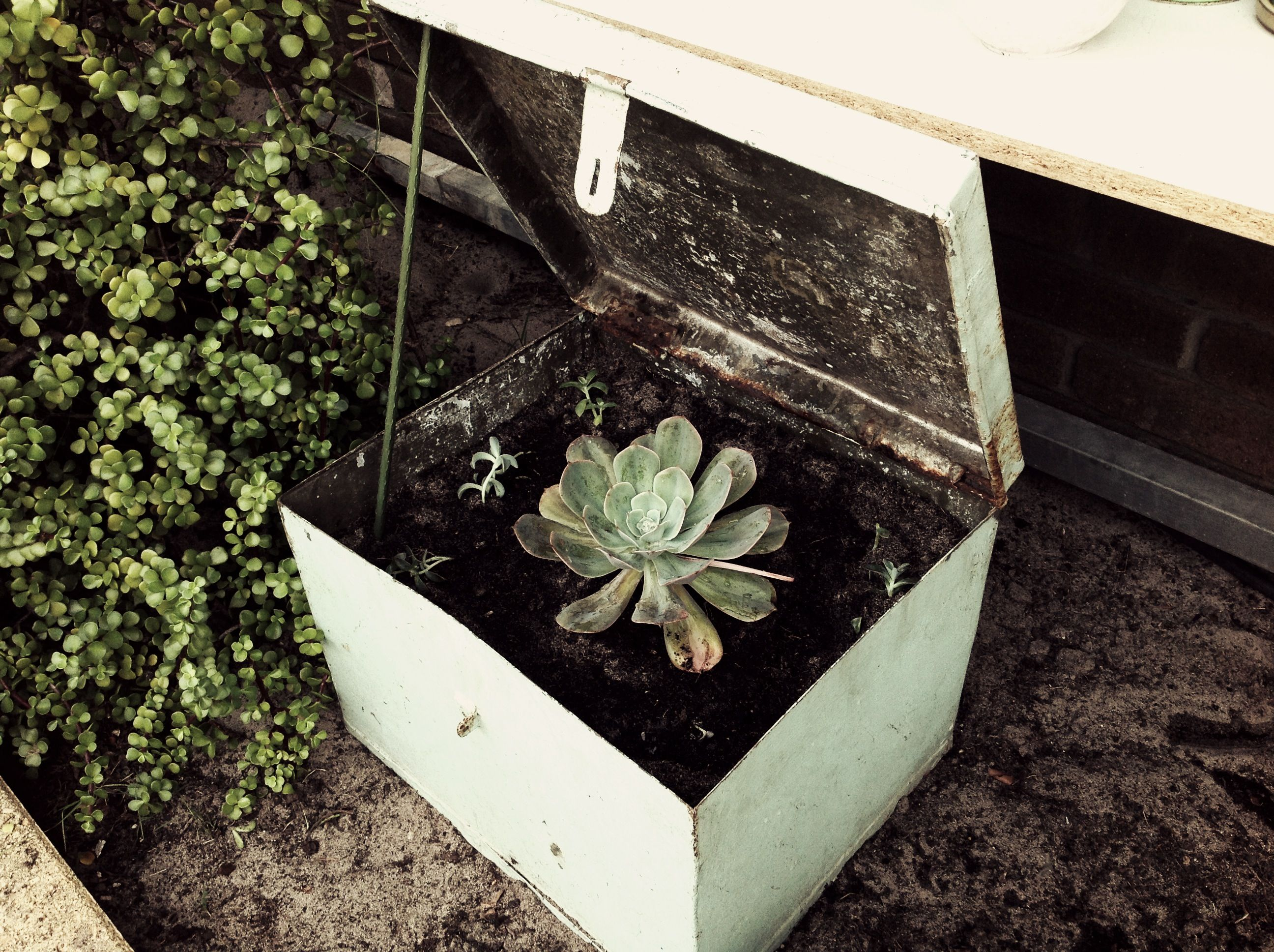 Succulent in tool box