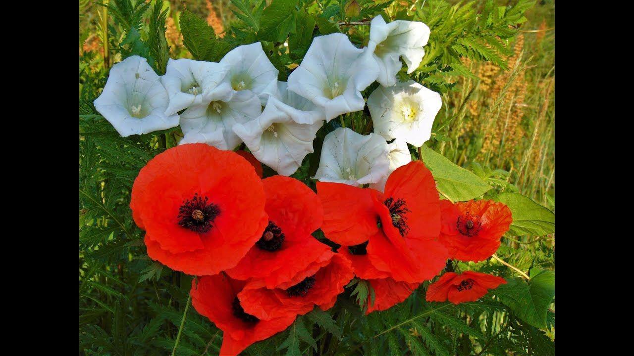 Polskie Kwiaty Lech Stawski Polska Polnekwiaty Flowers Make It Yourself Plants