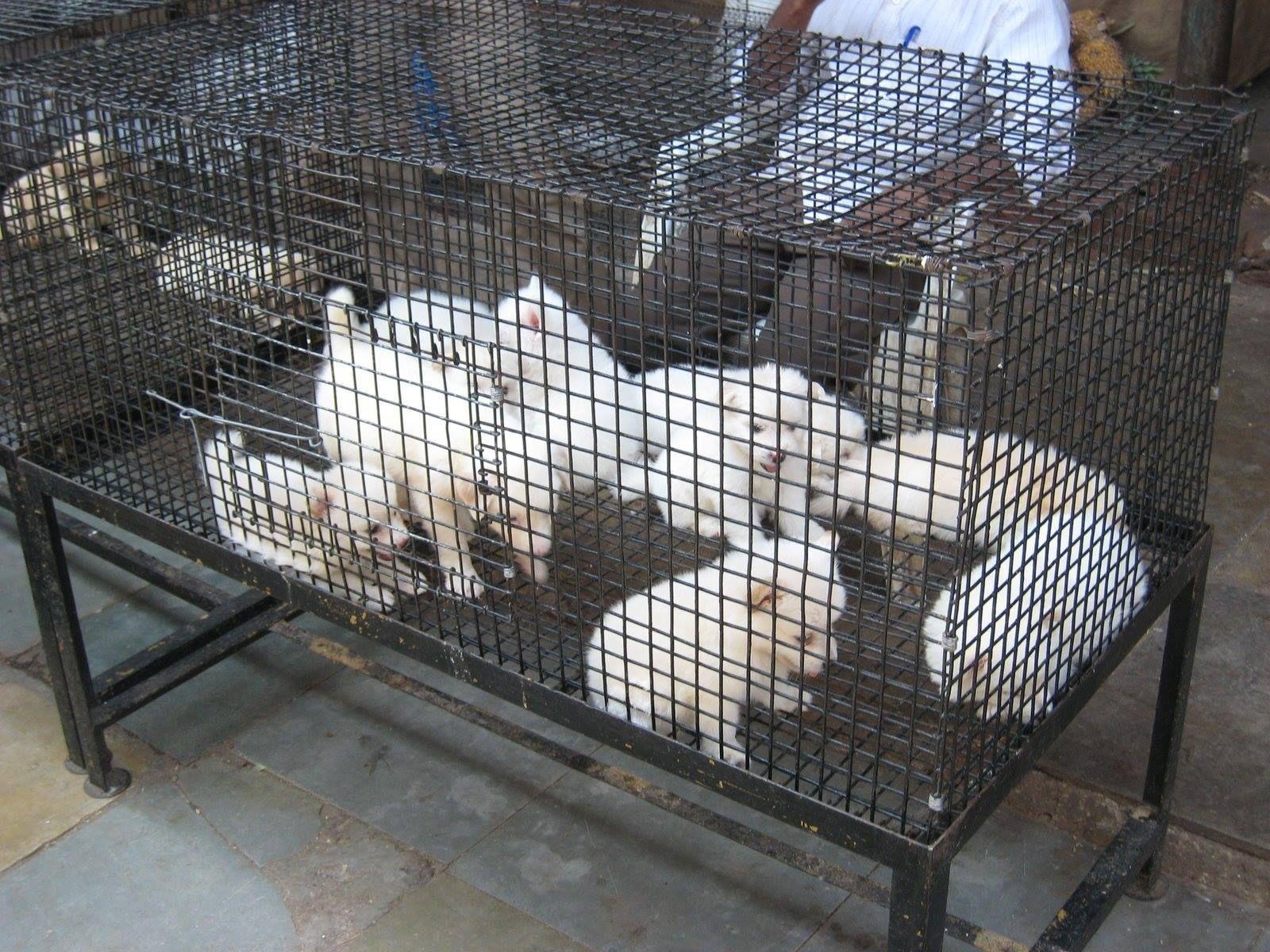 Puppy Mills 101 Puppy Mills Puppies Pet Store