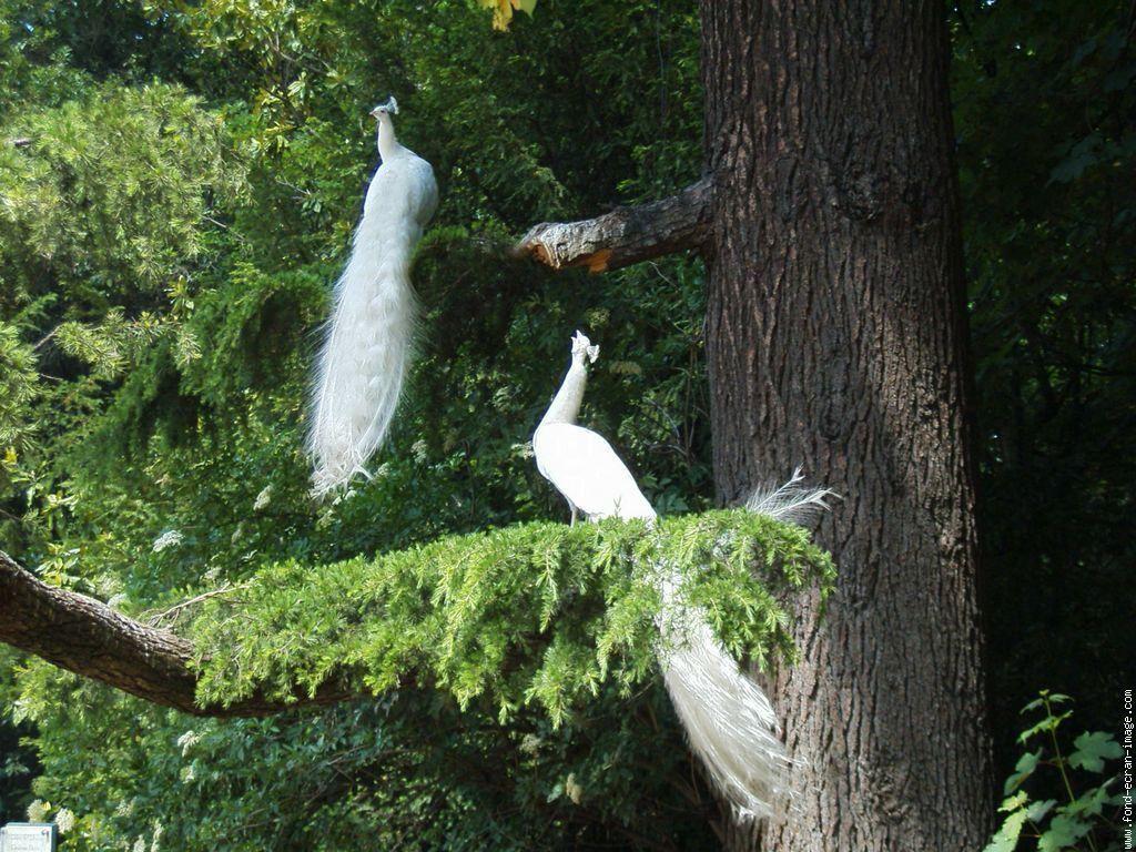 Paons Valladolid Sur Fei Oiseau Paon Photo Oiseau Paon