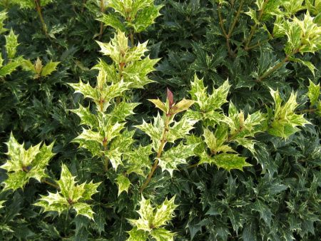 Osmanthus heterophyllus Goshiki   VARIEGATED EVERGREEN FOR FULL SHADE!!!  PERFUMED BLOOM IN NOVEMBER  UP TO SSIX FEET TALL