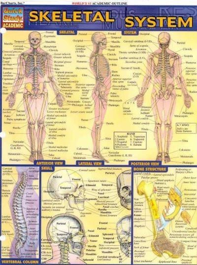 Skeletal System Quick Study Reference Guide (Quick Study Academic ...